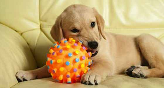 Dogs-Tennis-Balls-Are-Dangerous-For-Dogs-EC